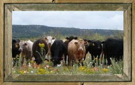 JX Ranch yearlings in spring flowers