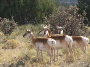 We are seeing an increased number of Pranghorn on the ranch as our land is restored