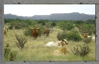JX Ranch Natural Beef -content cows in pasture