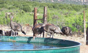 Wild Rio Grande Turkey getting a drink of water at a newly installed watering trough