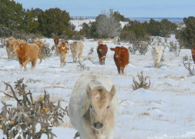 Yearlings-in-snow-1