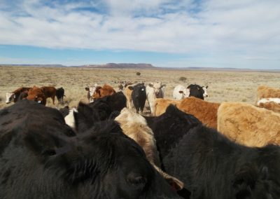 Cattle to the horizon
